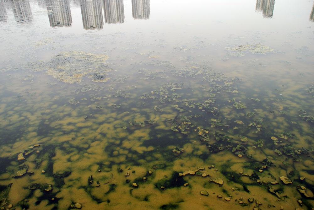 세종시 첫마을이 바라다보이는 강물에 녹조류 사체가 둥둥 떠다니고 있다.