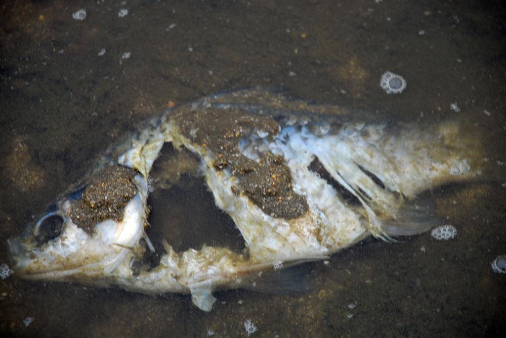 죽어가는 물고기부터 썩어가는 붕어까지 발견되었다.
