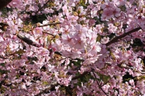 일본 쓰시마 조생종 벚꽃이 피다