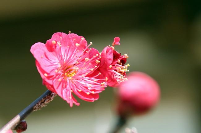 천은사 홍매화. 꽃의 아름다움은...