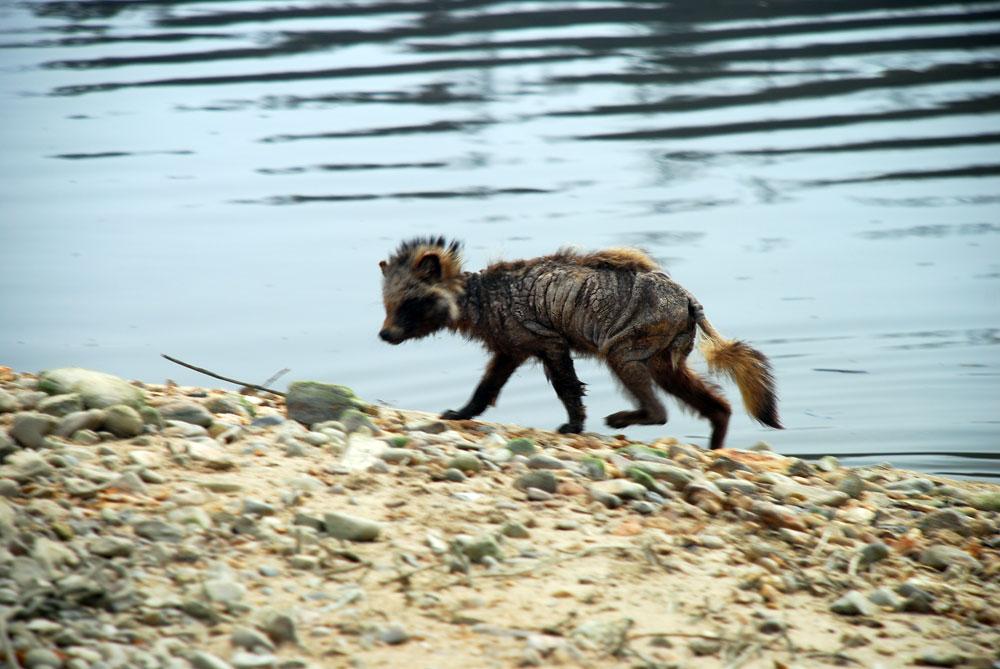 강변에 살아가는 야생동물들도 건강을 잃었다. 가죽만 앙상하게 남은 너구리가 인기척에 느리게 도망가고 있다.