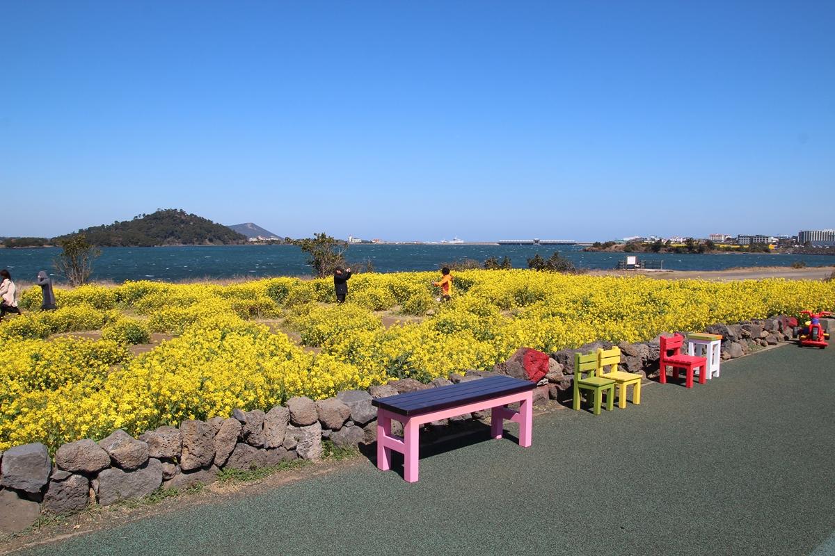 광치기 해변에 유채꽃이 만발했다. 관광객들은 저마다 제주의 봄을 담기에 여념이 없다.