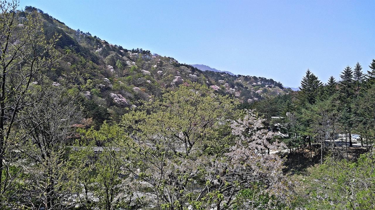 산벚꽃 백암마을엔 오래전 신혼여행을 오는 이들이 한 번쯤 들려 기념촬영을 하던 물레방아휴게소란 가게가 있다. 이곳 앞 도로에서 오색천 건너편을 보면 산벚꽃이 어떻게 저리도 많을 수 있느냐는 의문이 절로 든다. 이 산벚꽃은 점봉산은 물론이고 설악산의 해발 1400 고지까지 어렵지 않게 만날 수 있다.