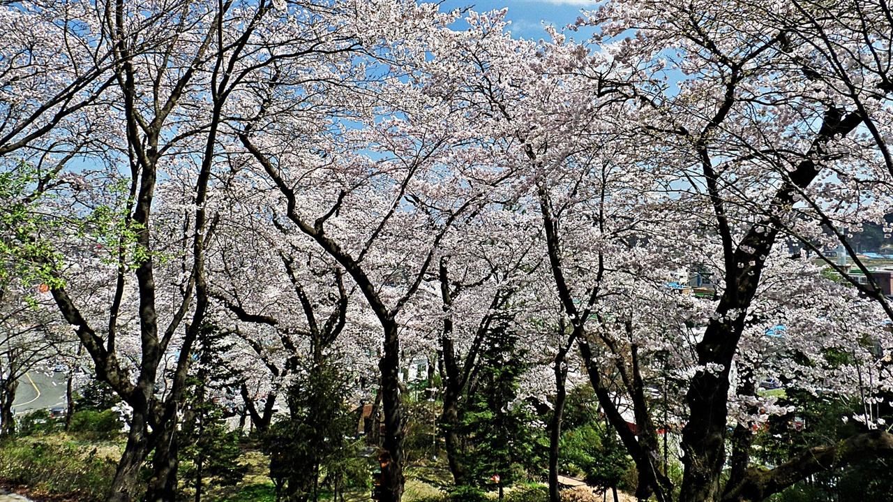 현산공원 벚꽃 현산공원의 4월은 벚꽃이 피면 아이들 손을 잡고 나선 이들이 많다. 걷기 좋게 정돈된 길을 따라 오래된 벚나무들이 일제히 꽃을 피우면 그리 높지 않은 산이 온통 구름에 가린 듯 싶다.