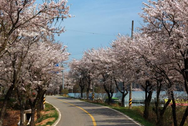 산청군 산청읍 정곡삼거리에서 신등면 양전리로 넘어가는 고개 10여Km 길(지방도 60)에 벚꽃이 연분홍빛으로 일렁인다.