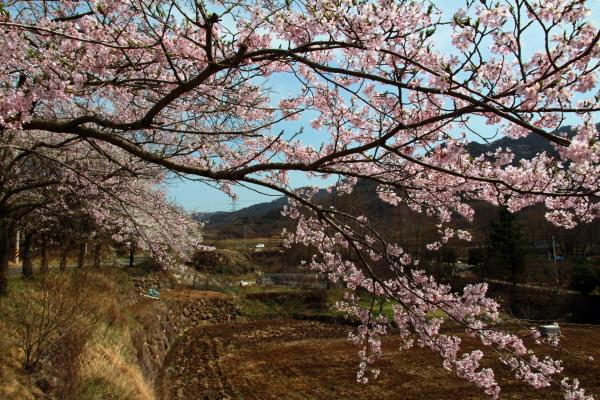 정곡삼거리에서 신등면 양전리로 넘어가는 고개 10여Km 길(지방도 60)에 벚꽃이 연분홍빛으로 일렁인다.