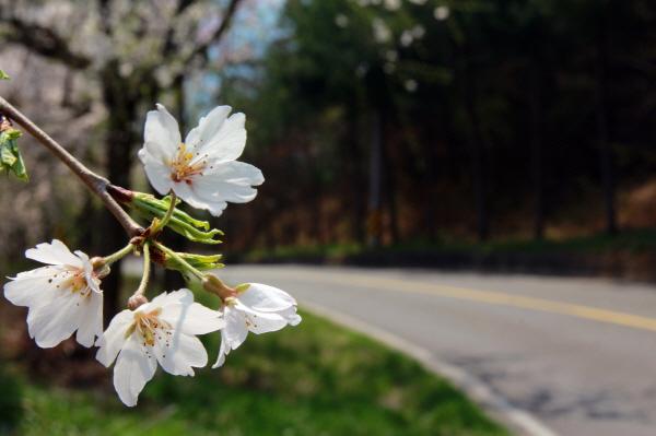 하얀 벚꽃 한 송이 길가로 벗어 오가는 차들에게 인사를 건넨다.