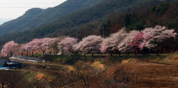 산청군 정곡삼거리에서 신등면 양전리로 넘어가는 고개 10여Km 길(지방도 60)에 벚꽃이 연분홍빛으로 일렁인다.