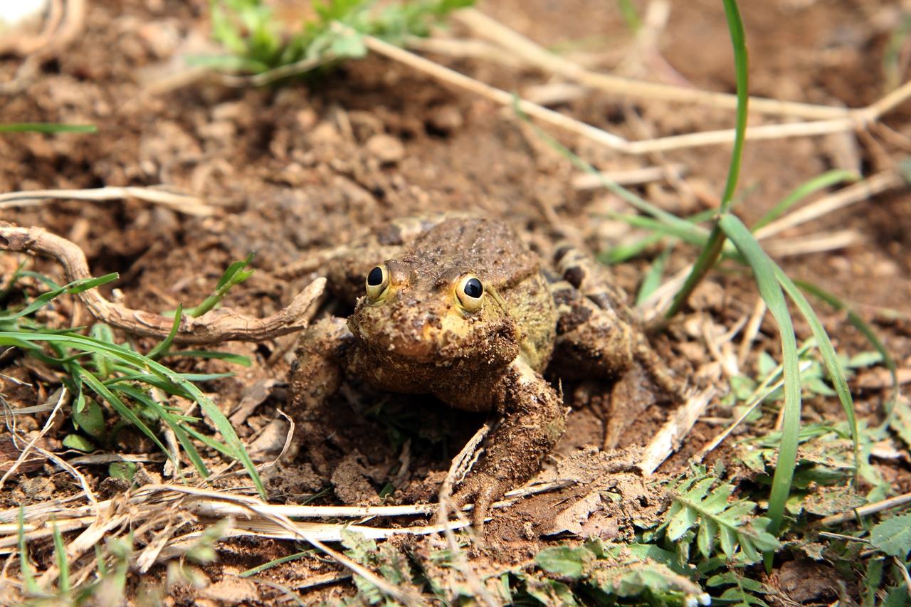 봄 기운에 텃밭에서 뛰쳐나온 두꺼비.