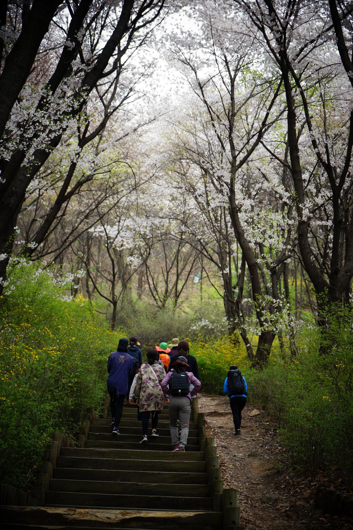 안산 벚꽃길로 오르는 사람들