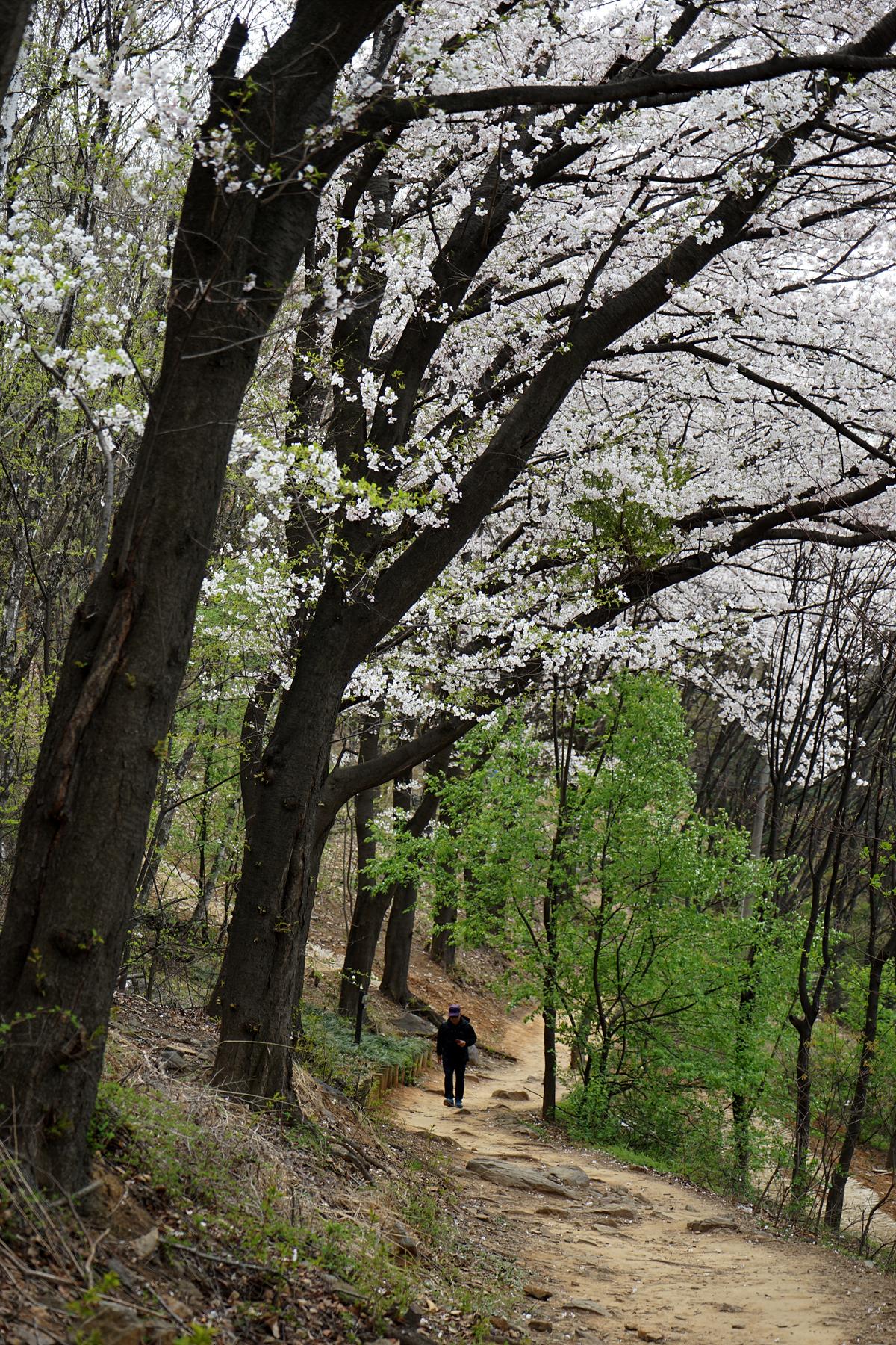 오래된 벚나무가 장관인 벚꽃길