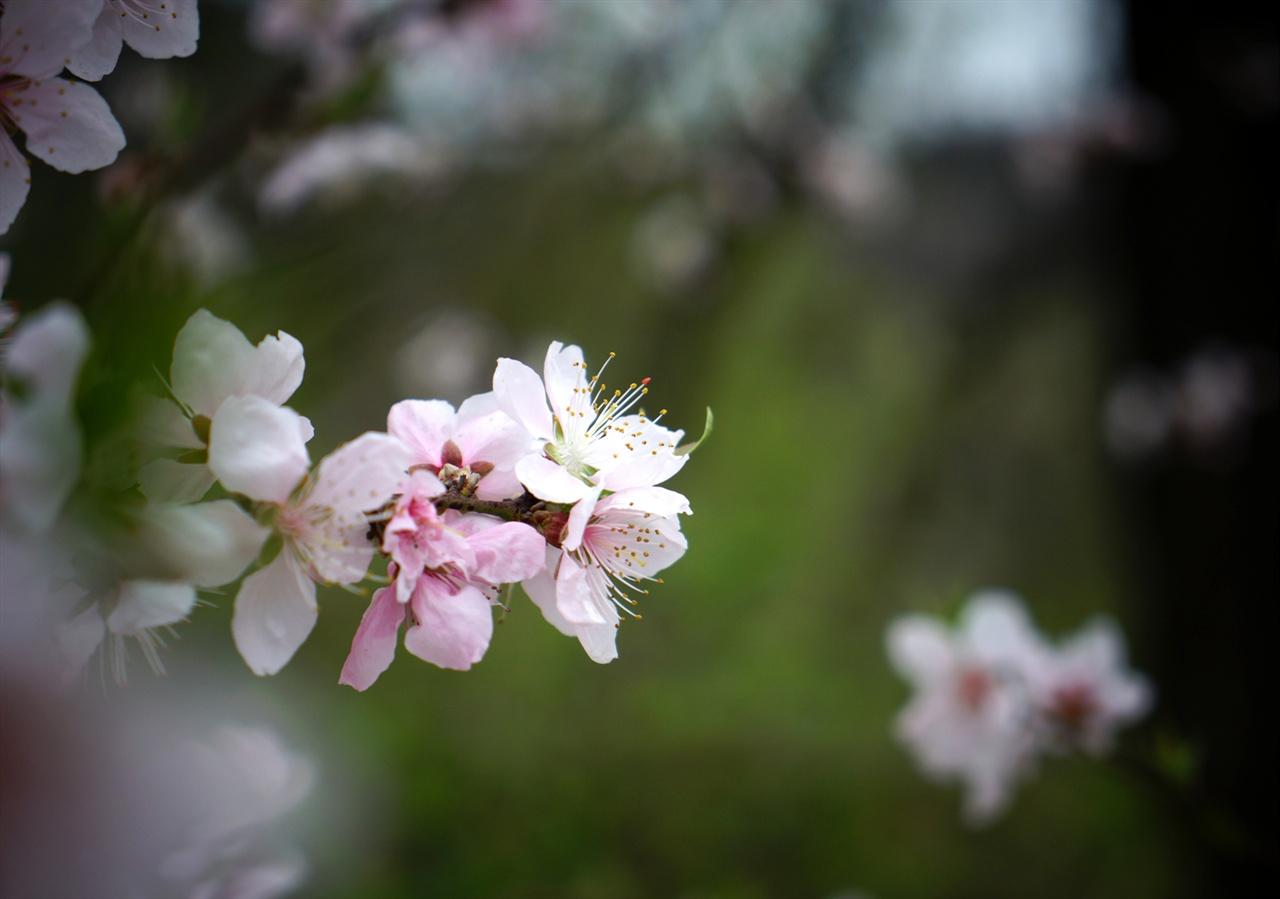 안산의 복사꽃