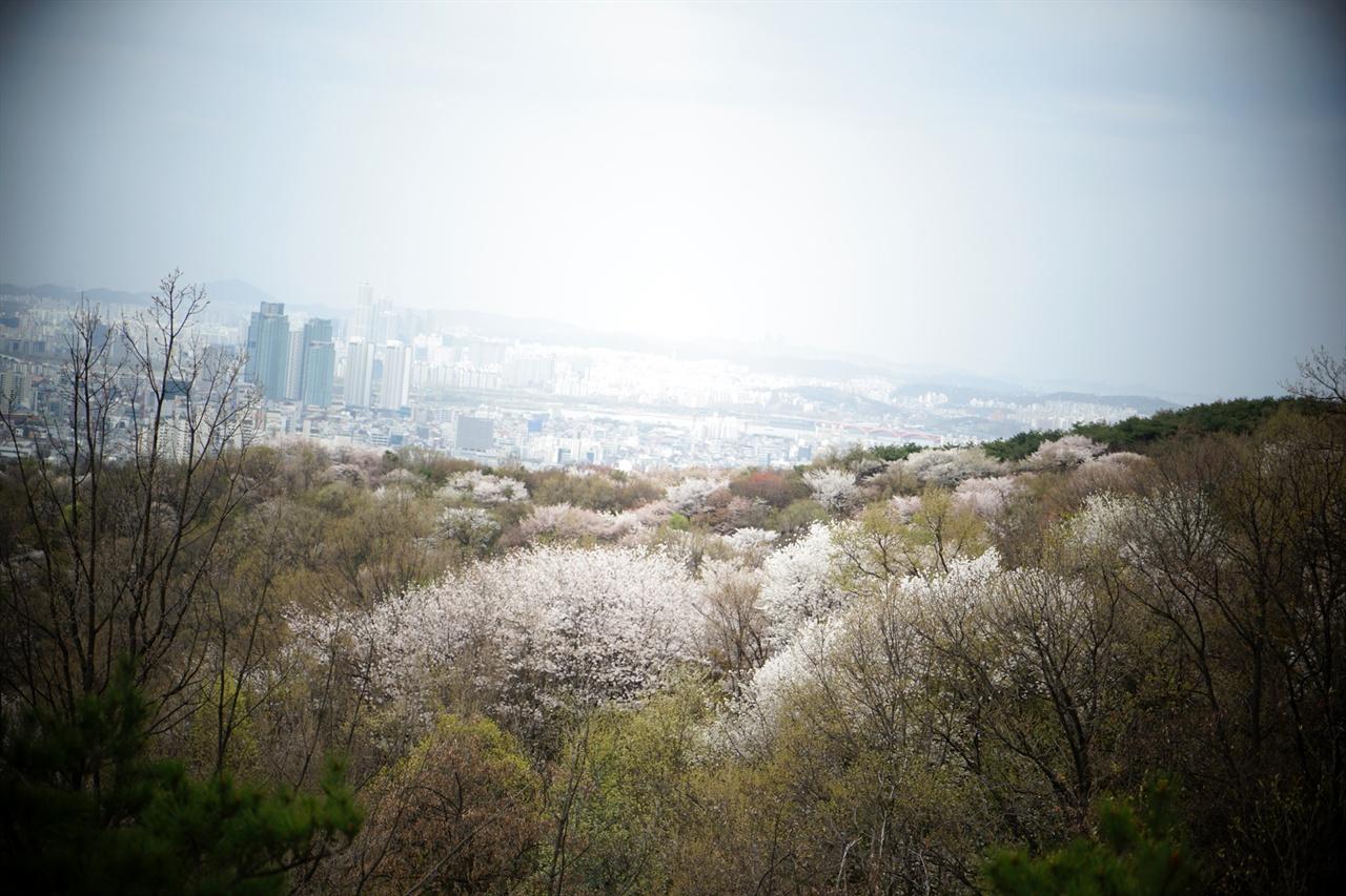 안산의 벚꽃