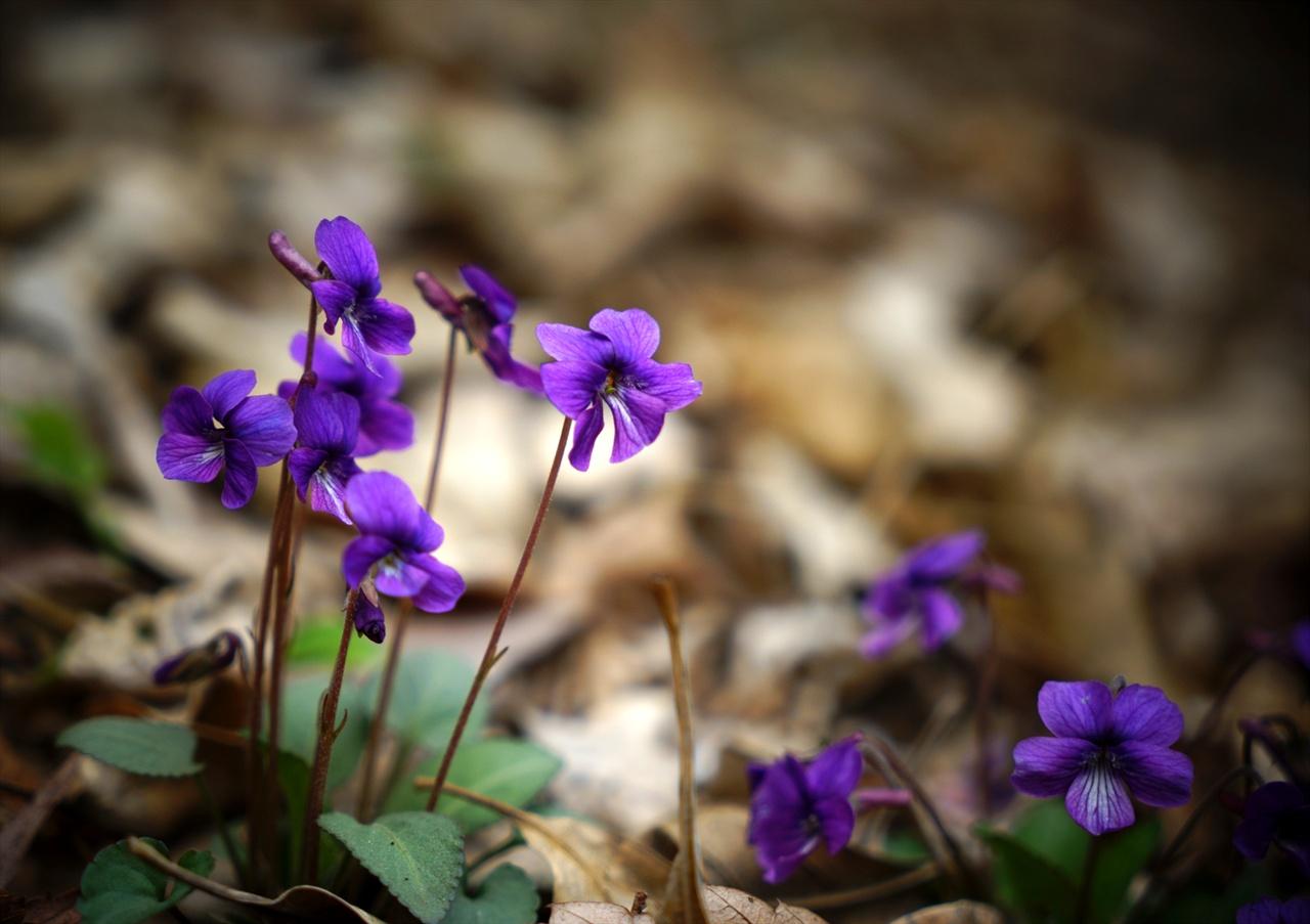 안산의 제비꽃
