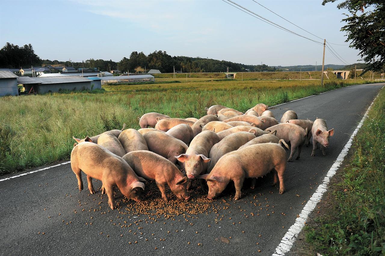 가까이 다가오는 돼지들에게 사료를 주며 기운 차리고 살아달라고 부탁했다.