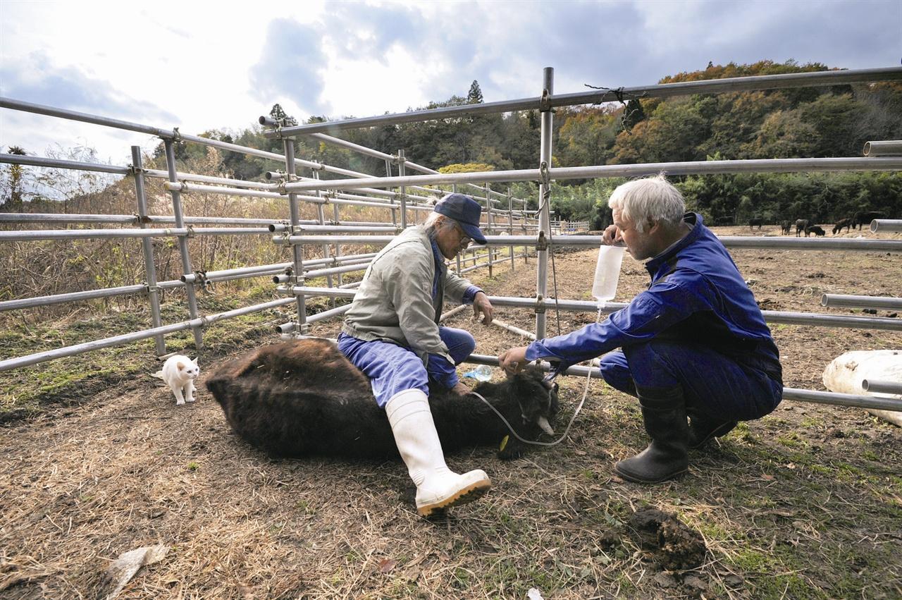출입이 금지된 지역에 남아서 살처분 명령이 내려진 소들을 돌보고 있다.