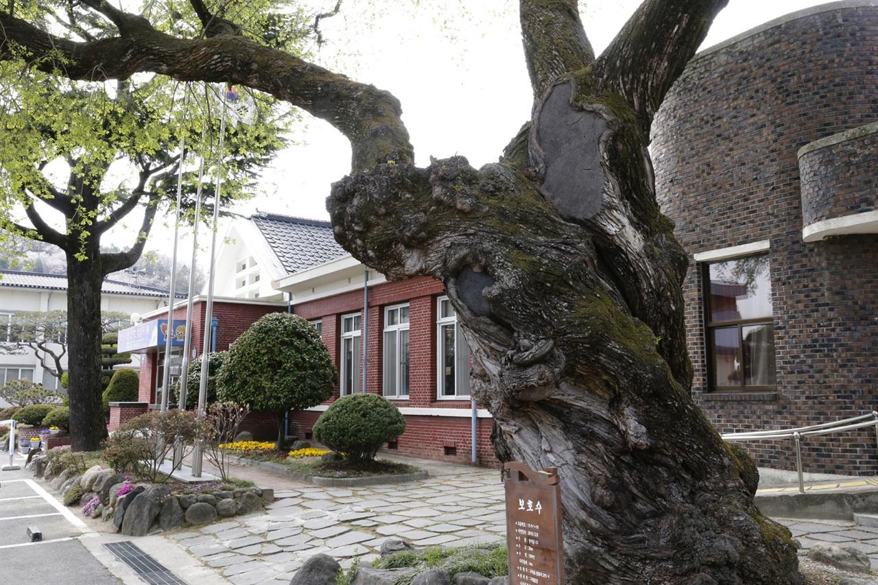 이순신의 조선수군 재건을 지켜봤을 수령 500년의 왕버들나무. 당시 구례현청이 있던 자리다. 지금은 구례읍사무소가 들어서 있다.