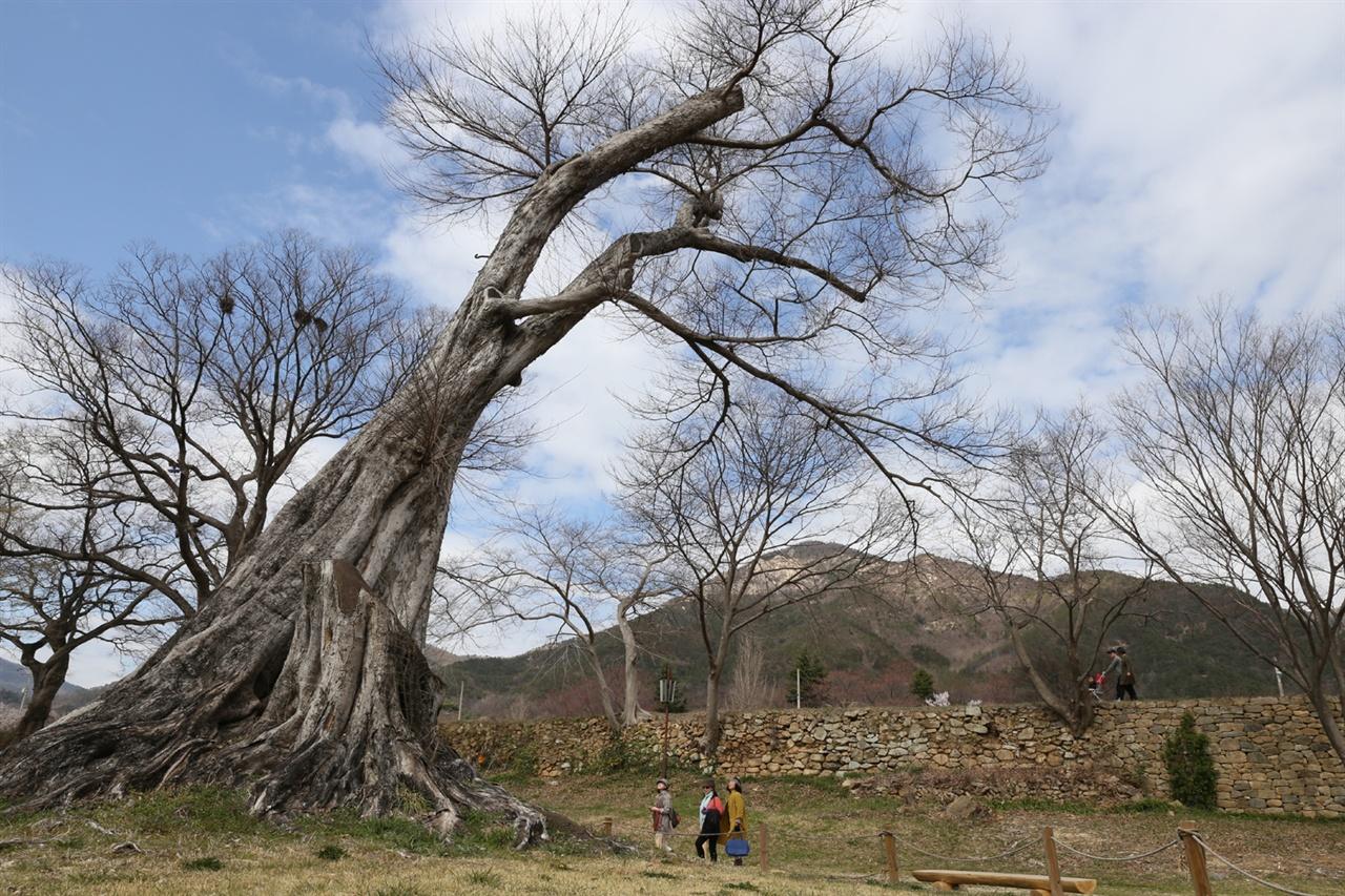 이순신이 직접 심은 것으로 전해지는 낙안읍성의 푸조나무 고목. 낙안읍성 객사 뒤에서 비스듬히 자라고 있다.