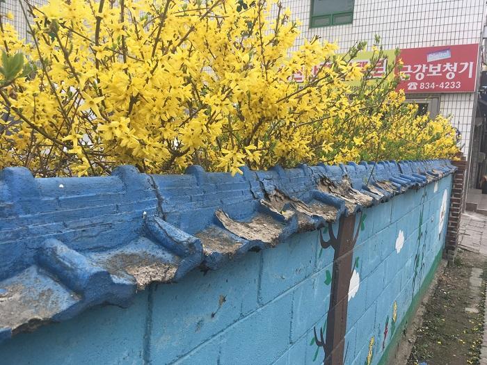 봄을 상징하는 개나리