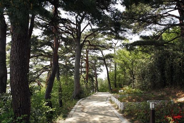 소나무숲 청간정으로 오르는 길에 만나는 소나무숲도 일품이다