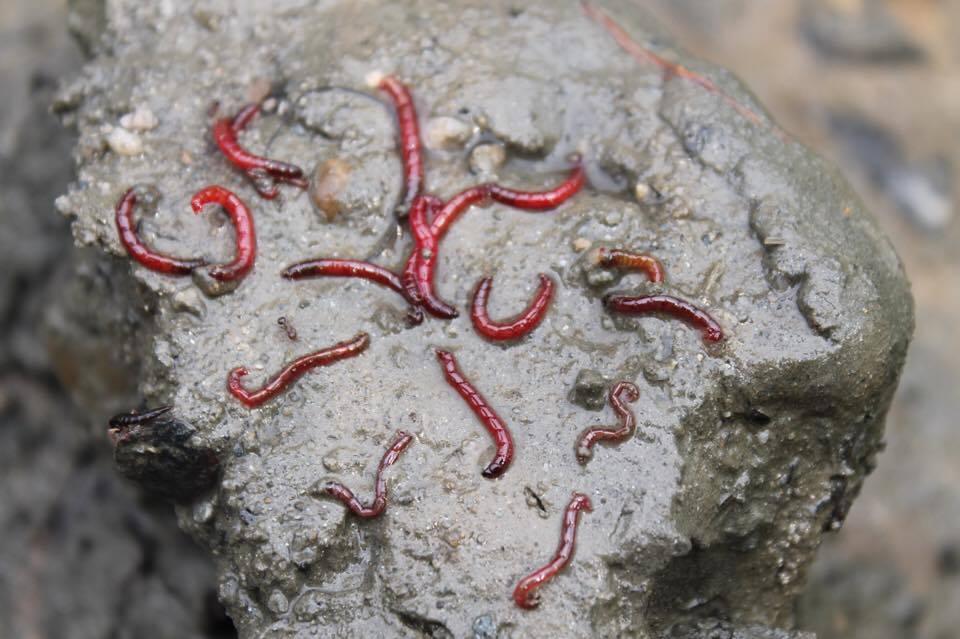 금강이 시커먼 펄 속에는 붉은 깔따구가 산다. 환경부가 공식 지정한 최악의 수질지표종이다.
