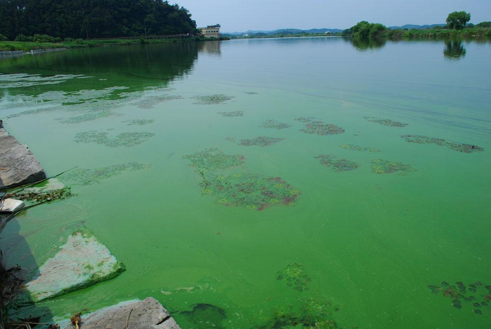 강폭 300m 정도의 강물이 온통 녹조로 뒤덮고 있다.