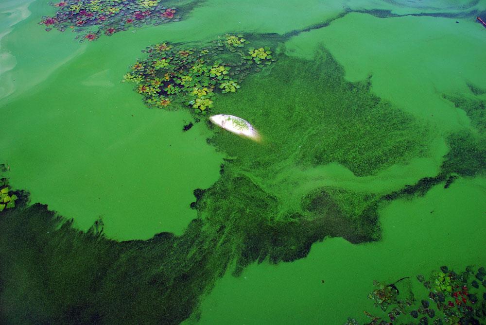 녹조가 뒤덮은 강물 곳곳에서 죽은 물고기가 발견되었다.
