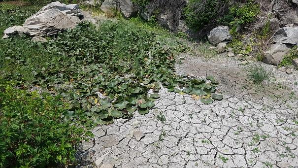 서산시 일락사 앞의 연못도 말라 있다.