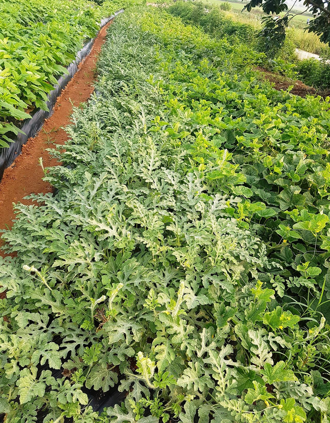 우리 수박밭과 참외밭입니다. 가뭄도 이기고 무성하게 자랐습니다.
