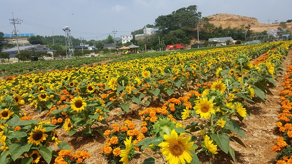 해바라기 홍성군 서부면 수룡동 마을에 만개한 해바라기 꽃