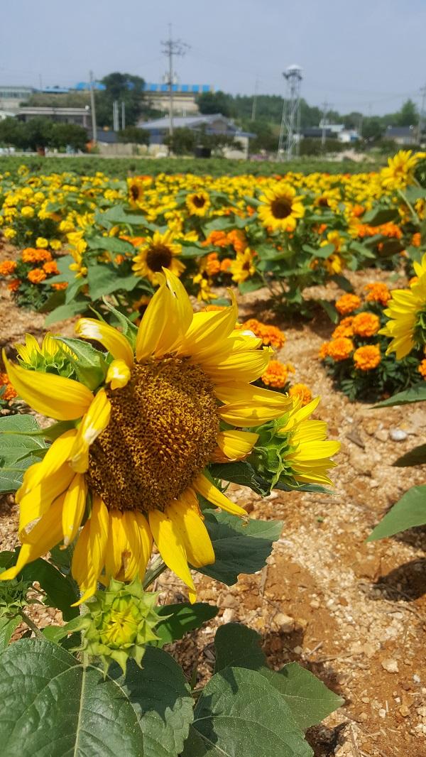 해바라기 400년 전통 잇는 마을에 무더위에도 불구하고 해바라기 꽃이 만개해 노랑 물결이 일렁이고 있다.