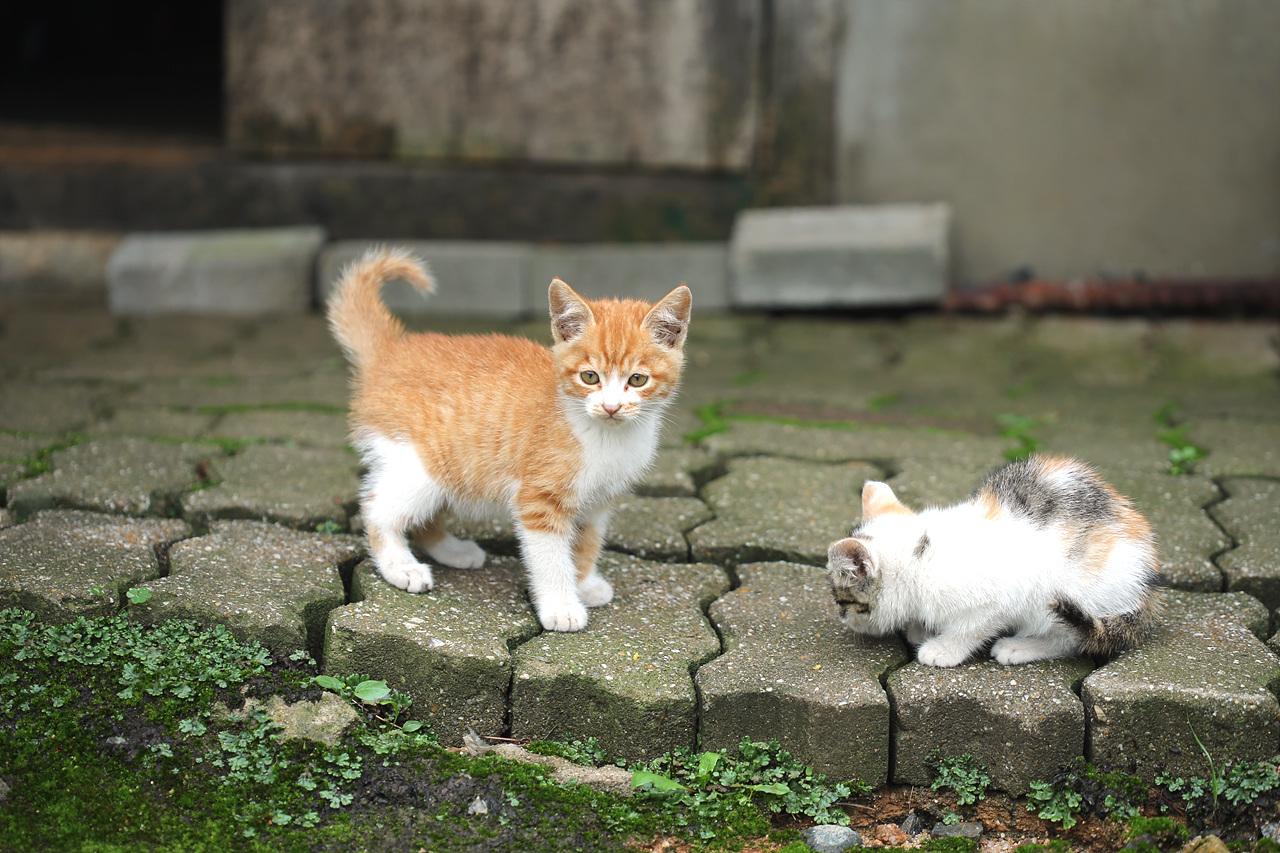 새끼고양이 새끼고양이 두 마리, 어미는 새끼를 낳고 어찌되었는지 알 수 없다. 새끼 두 마리를 물골 할머니가 거두어 키웠다.