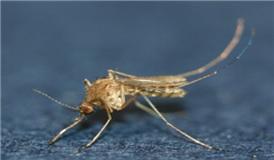 일본뇌염모기. 작은빨간집모기(Culex tritaeniorhynchus). 자료사진.