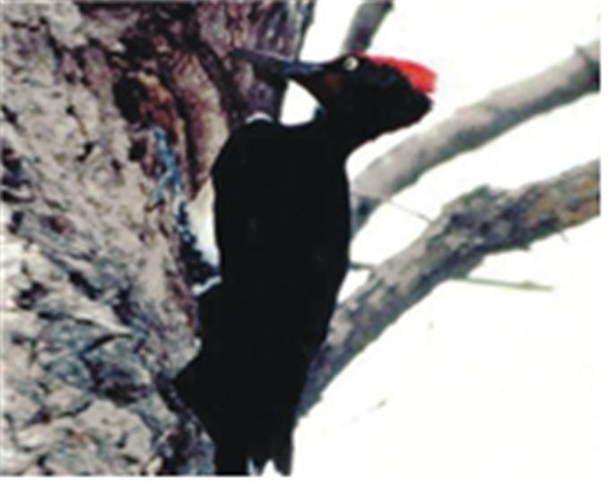 크낙새의 모습 .