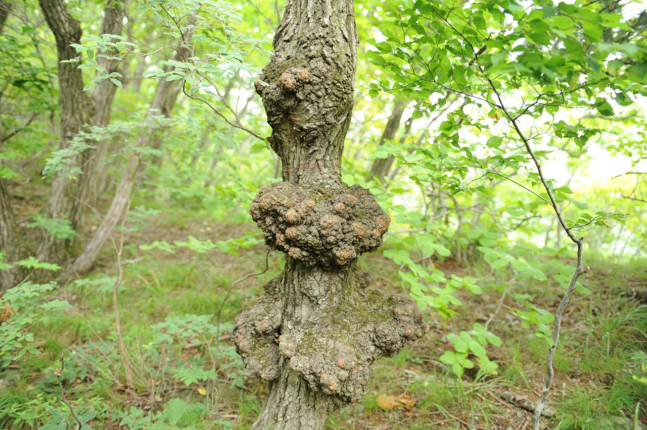 사람 마음에만 응어리가 지는 게 아닌가 봅니다. 이 나무의 삶도 꽤나 힘들었을 것 같습니다.