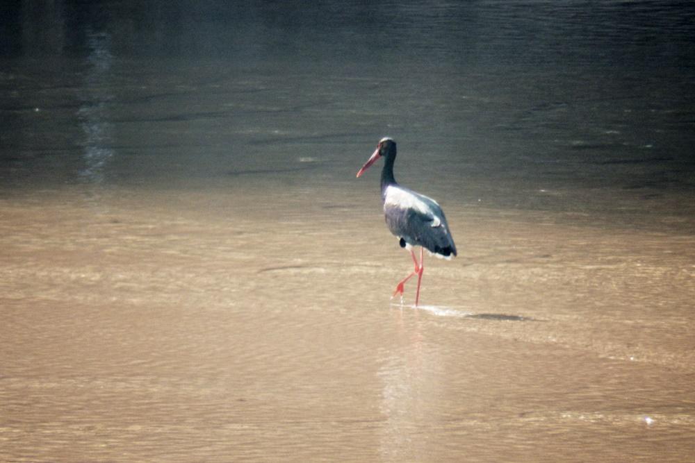 매년 내성천을 찾아오는 천연기념물이자 멸종위기종인 먹황새. 이 귀한 새가 찾는 유일한 곳 내성천. 이 귀한 새를 위해서라도 내성천을 국립공원으로 지정해야 한다