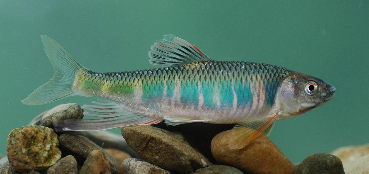 대한민국 하천에서 가장 흔한 물고기인 피라미. 수심이 깊은 4대강에 살지 못한다.