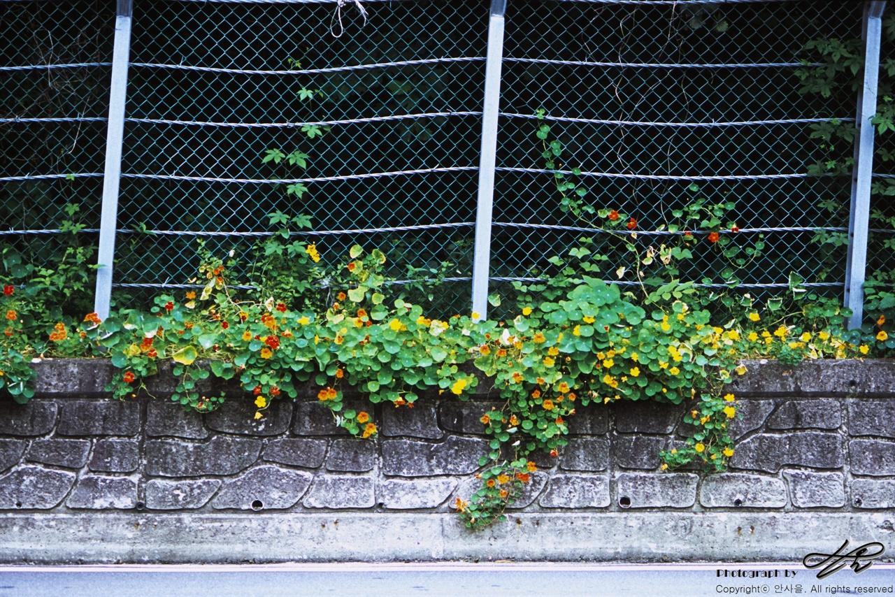 길거리 화원 (LX/CT100)낙석방지 울타리를 넘어서 자라난 식물들이 너도나도 꽃을 피웠다. 홍천에서 인제로 넘어가는 길목 즈음.