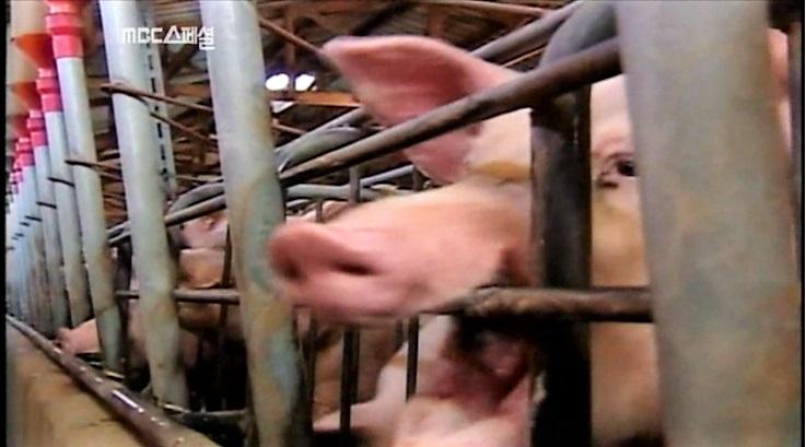 MBC다큐스페셜 <고기랩소디> 한 장면 강제로 발치당한 돼지가 철창에서 나가고 싶어 이가 없는 상태로 철장을 물어뜯고 있다.