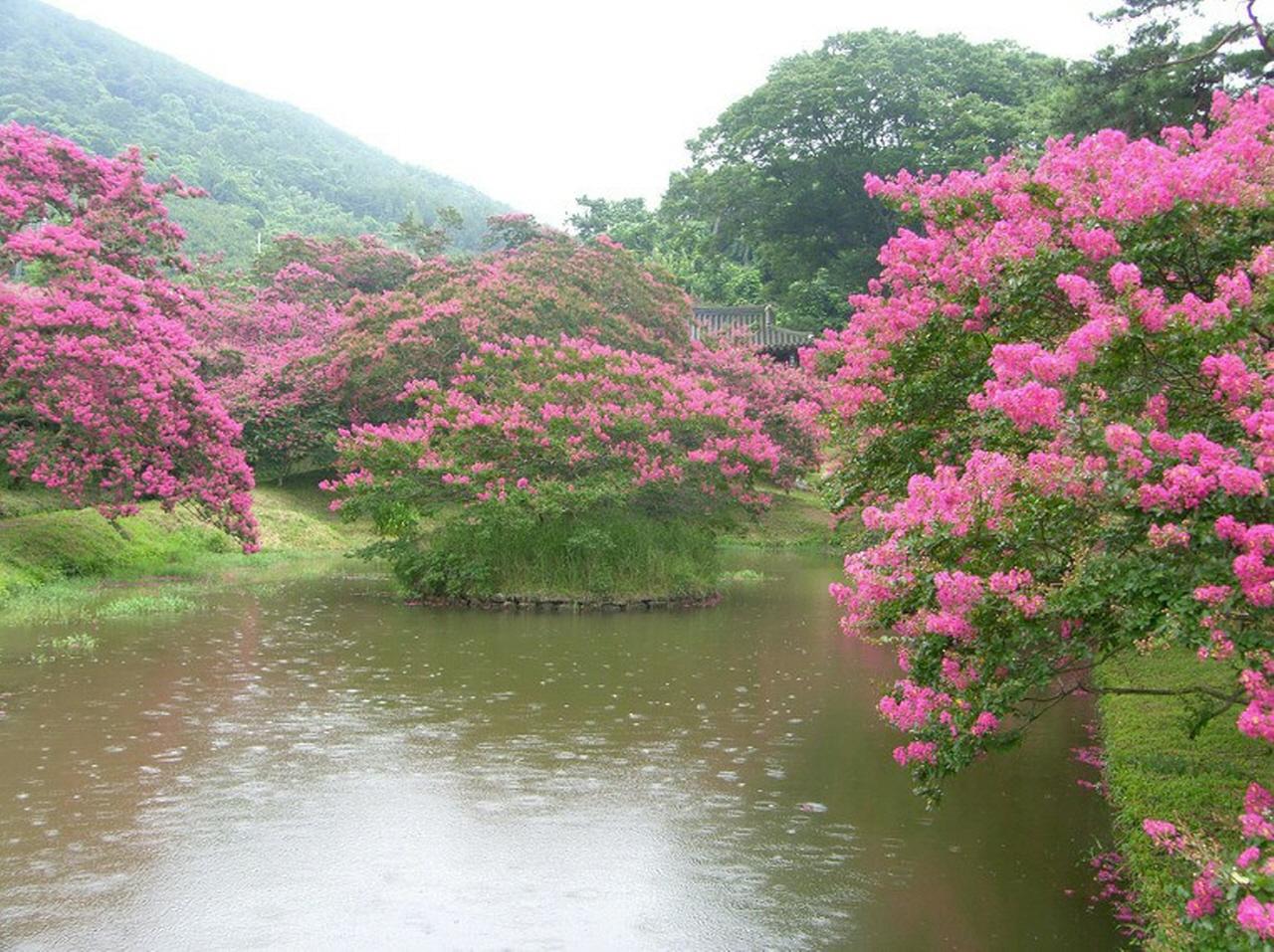 정자 아래 연못 주변의 배롱나무꽃이 만개했다. 연못 가운데 둥그런 섬에도 배롱꽃이 활짝 피었다. 명옥헌 원림의 풍경 중에서 가장 아름다운 곳이다. 네모난 연못 가운데 둥그런 섬을 만들어 놓았다.'천원지방(天圓地方)' 즉,'하늘은 둥글고 땅은 모나다'고 여기는 옛사람들의 우주관을 반영하고 있다.