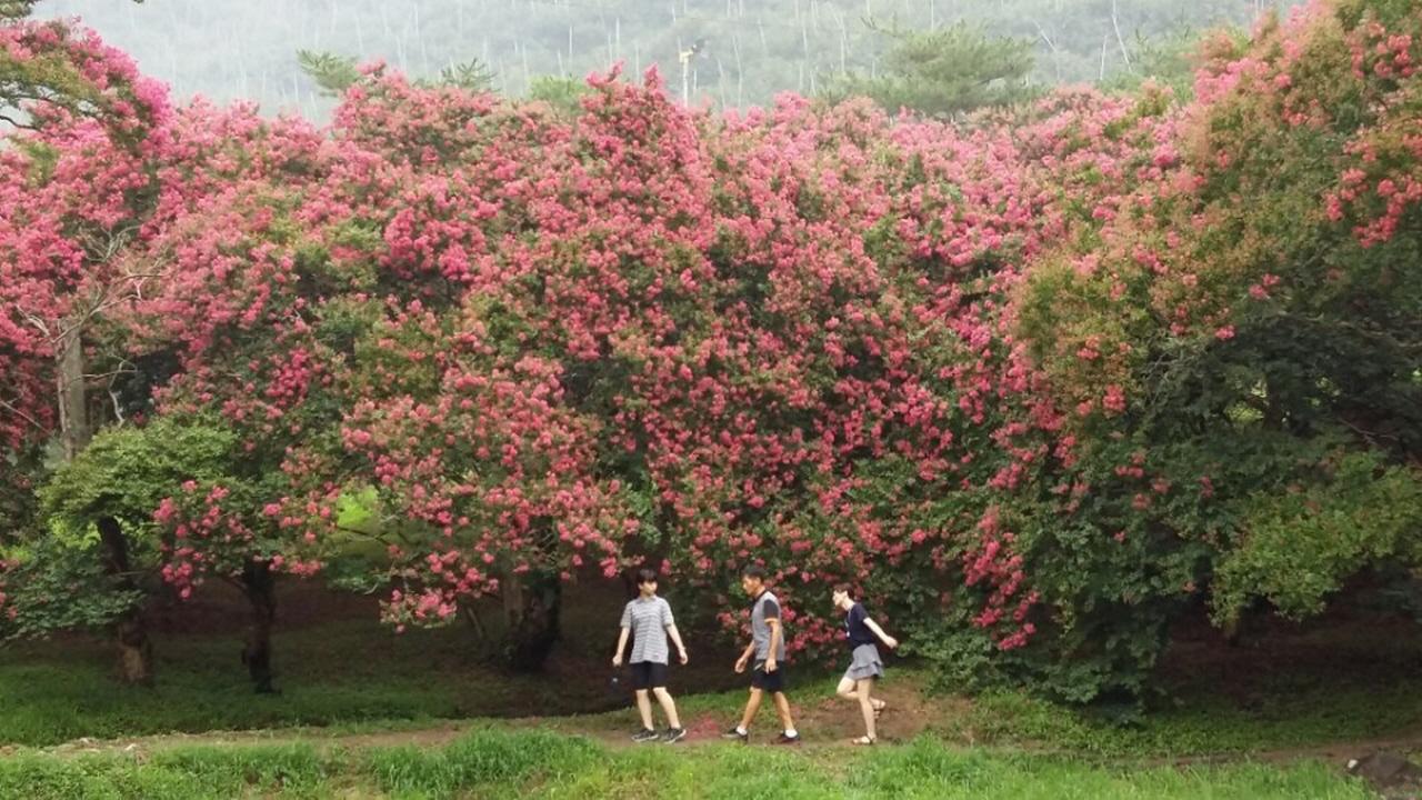 연못 주변의 배롱나무. 관람객도 한 폭의 수채화가 된다