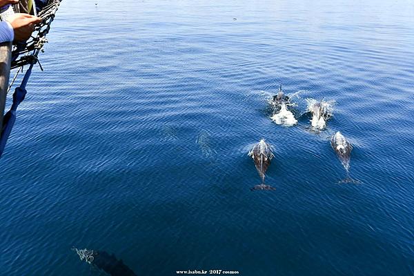 코리아나호를 따라오며 물위로 솟아오르는 돌고래떼들 모습. 수백마리가 헤엄치는 모습이 장관이었다.