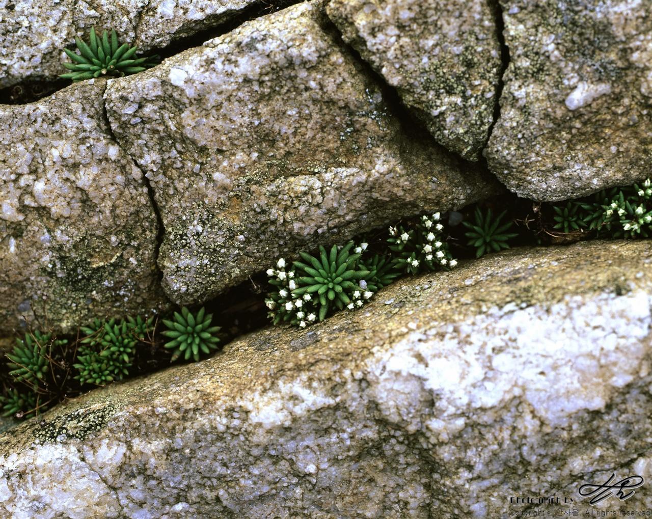 귀한 꽃 (67ii/Velvia100)정상에서 만난 어떤 분에 의하면 '돌솔'이라는 꽃이라고 했다. 그 분은 상당히 귀한 꽃이라며 흥분을 금치 못하셨다.