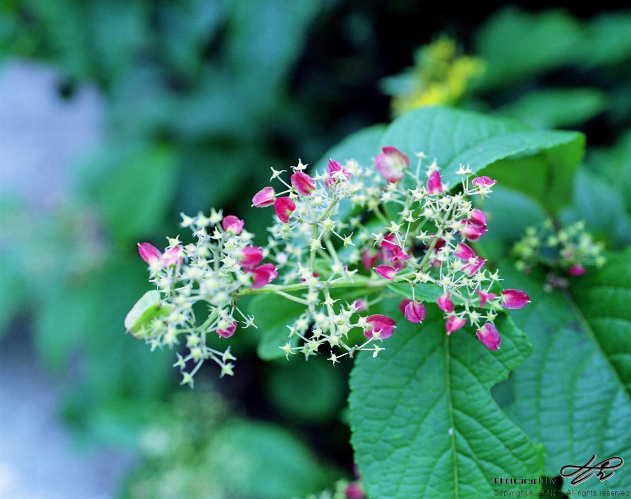 야생화(1) (67ii/Vevia50)꽃이 지면 잎이 다홍빛으로 물드는 신기한 식물을 만났다.
