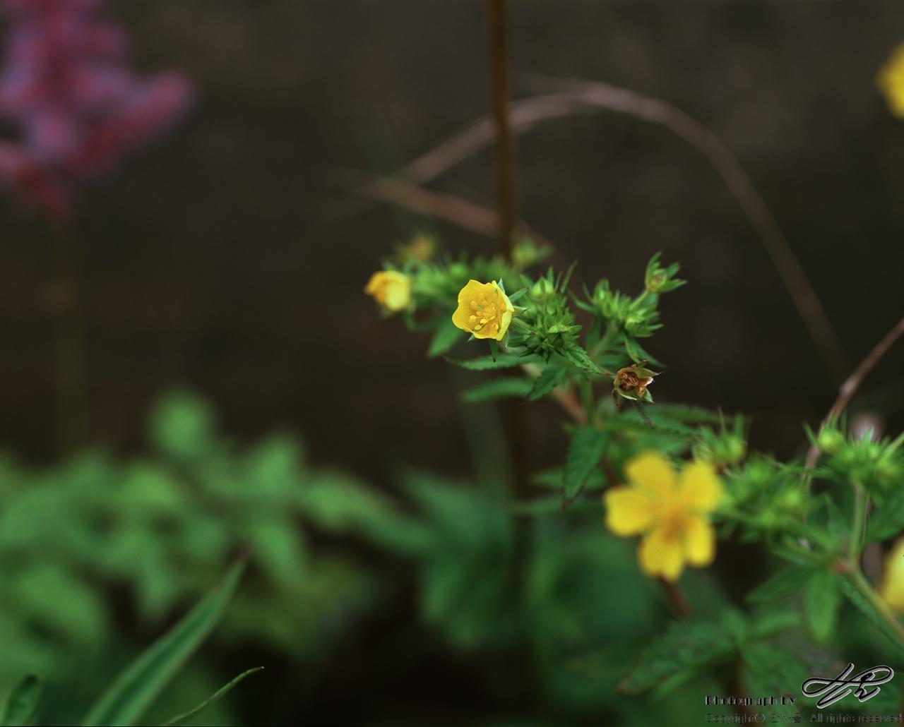 야생화(3) (67ii/Velvia50)봉오리, 덜 핀 꽃, 다 핀 꽃.