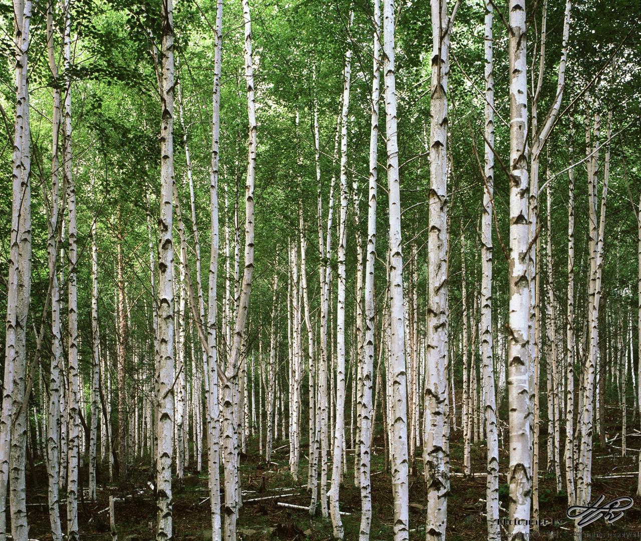 자작나무숲 (67ii/Veivia50)육백마지기들 정상, 풍력발전단지에 이르기 직전, 자그맣게 조성되어있는 자작나무 숲.