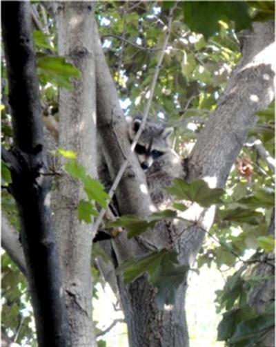 나무 위 라쿤