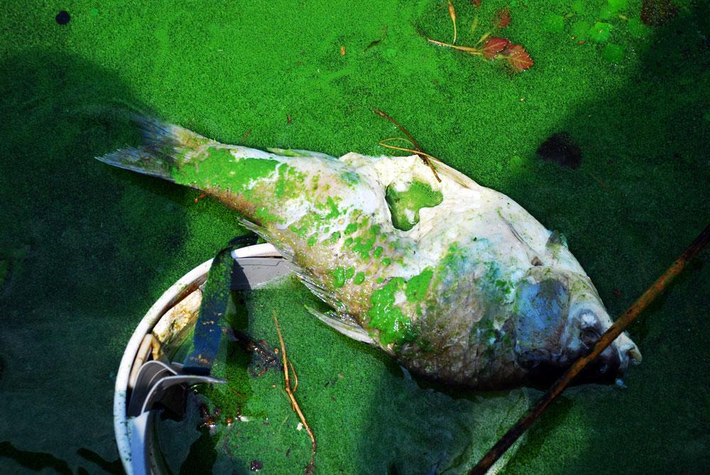 이런 강물로 농민들이 농사짓고 산다. 자유롭게 뛰어놀아야 할 물고기들은 매일같이 죽어간다.