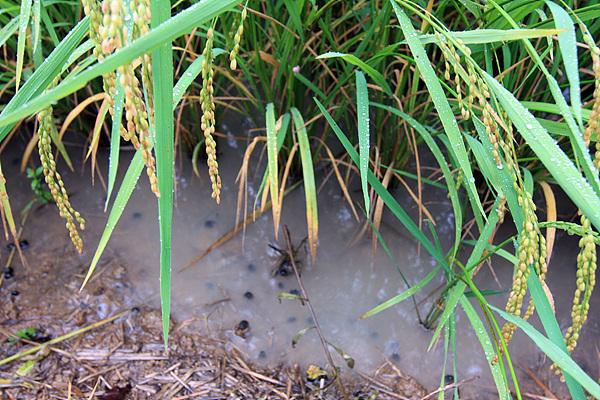 철원은 오대쌀로 유명하다. 한탄강 주변의 친환경벼를 재배하는 논에 우렁이가 기어다니고 벼가 익어가고 있었다.
