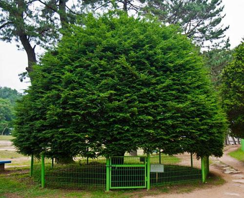 전남 고흥 소록도 중앙공원에 있는 솔송나무. 이 나무는 사람의 손길이 너무 많이 닿아 나무 본성을 잃었다.